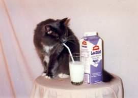 cat drinks milk